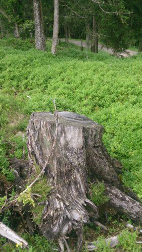 verschiedenArt: Kurzausflug nach Zirl - weiches Moos und ein rauher Baumstumpf